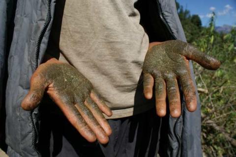 высушивают и смалывают в мелкую пыль